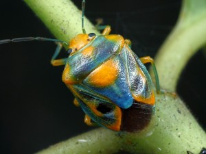 Antestiopsis sp., showing the typical bug shape.