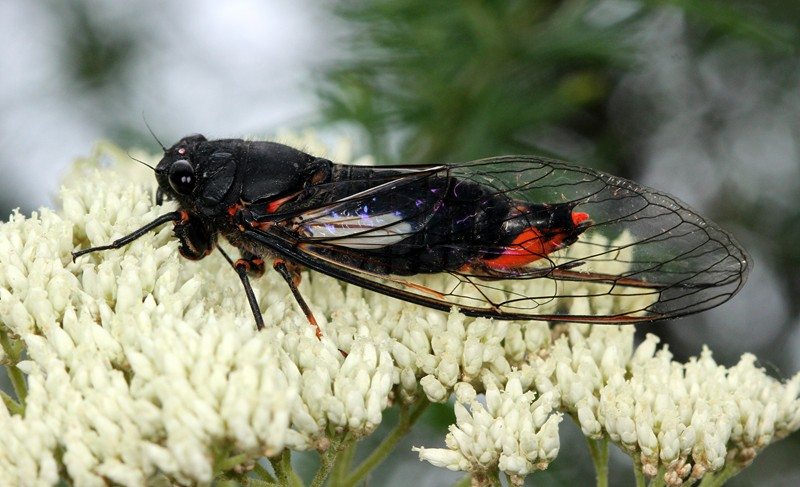 Black Firetail Cicada, Cicadetta denisoni.