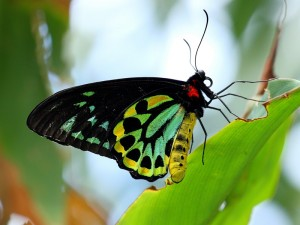 Cairns Birdwing Butterfly, Ornithoptera euphorion.