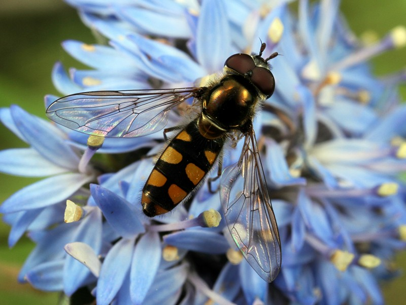 Common Hoverfly, Melangyna viridiceps, one of the most common flies from the family Syrphidae.