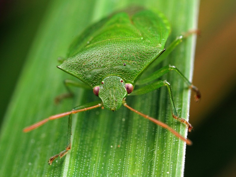 Green_Potato_Bug_Cuspicona_simplex