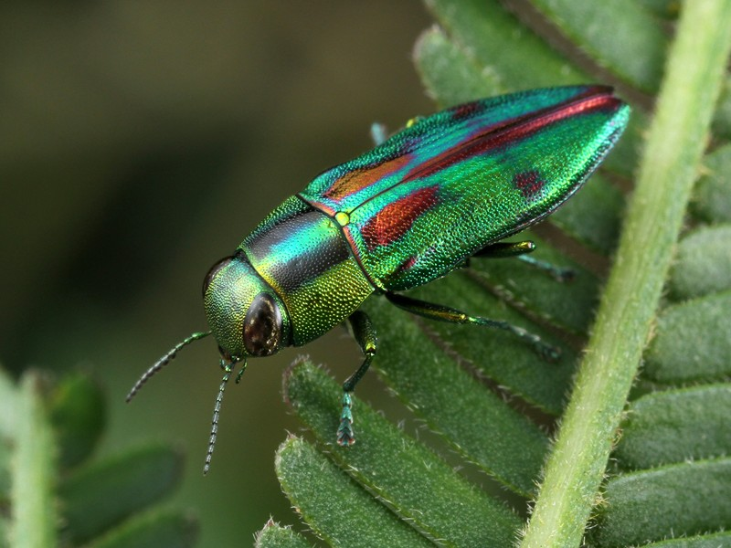 Melobasis purpurascens. It's obvious why its family, Buprestidae, are commonly called Jewel Beetles.