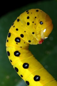 The caterpillar of the Peacock Jewel Moth, Dysphania numana.