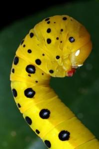 The caterpillar of the Peacock Jewel Moth, Dysphania numana.