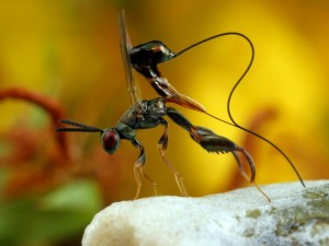Podagrion sp. wasp laying eggs inside a  Praying Mantis ootheca (egg case).