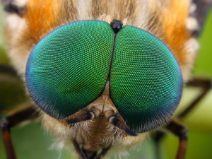 The large compound eyes of a Scaptia sp. March Fly.