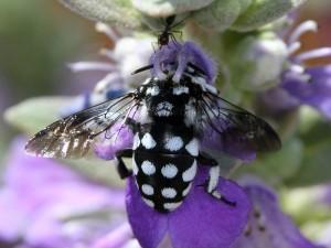 Waroonensis Cuckoo Bee Thyreus waroonensis