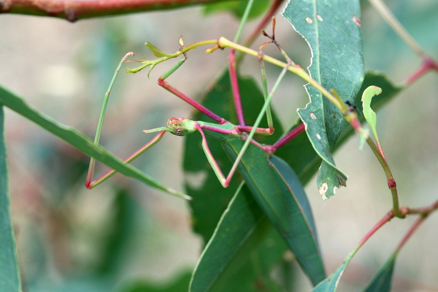 Didymuria violescens - Spur-legged Stick Insect