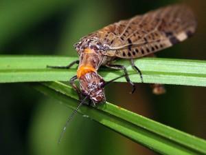 Dobsonfly - Archichauliodes sp. - PenTnnl221212 (2)