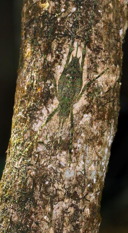 Giant Spiny Forest Katydid,Phricta spinosa.