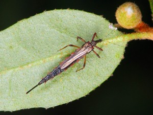 Giant Thrip, Mecynothrips_sp.