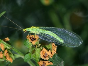 Golden-eyed Lacewing, Mallada traviatus,one of the most common species.