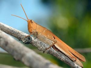 Goniaea opomaloides - Mimetic Gumleaf Grasshopper - NNP201111 (1)