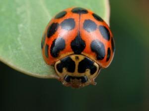 Harmonia conformis - Common Spotted Ladybird - Wrrmbngl211014 (4)