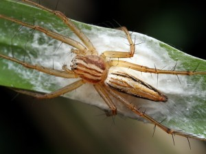 A female Lynx Spider, Oxyopes sp., stands guard over her clutch of eggs.