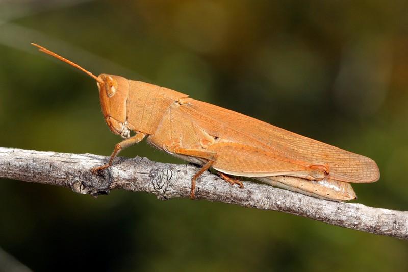 Mimetic Gumleaf Grasshopper, Goniaea opomaloides.