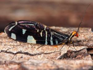 Porismus strigatus - Osmylid Lacewing - WrrndytSP190311 (2)