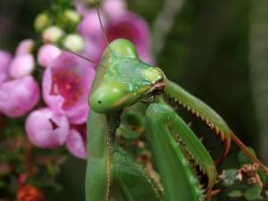 Pseudomantis albofimbriata - False Garden Mantid - fem Mntrs140614 (6)