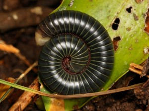 A rainforest millipede from Queensland.