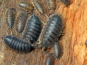Rough Slaters, Porcellio scaber, are often found congregating under the bark of trees.