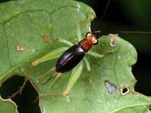Trigonodium sp., a small cricketfrom Queensland.
