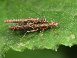 A mating pair of Stoneflies, possibly Dinotoperla sp..