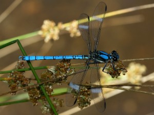 The majestic Whitewater Rockmaster,Diphlebia lestoides, one of theflat-winged damselflies.