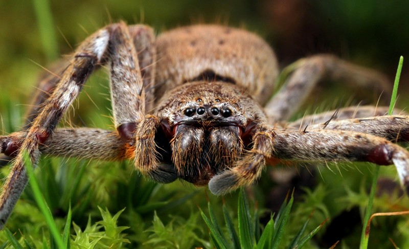 An Isopeda sp., one of several genera and species belonging to the family Sparassidae and collectively known as Huntsman spiders.