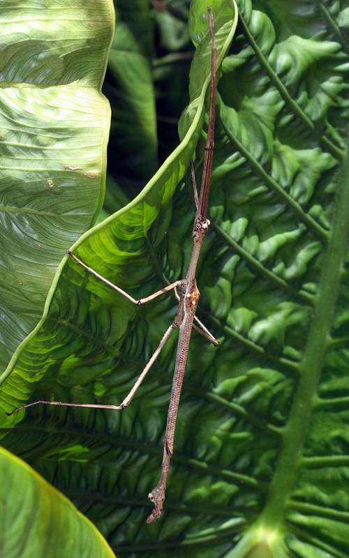poss_Strong_Stick_Insect_Anchiale_briareus_FlckrGrdns201013