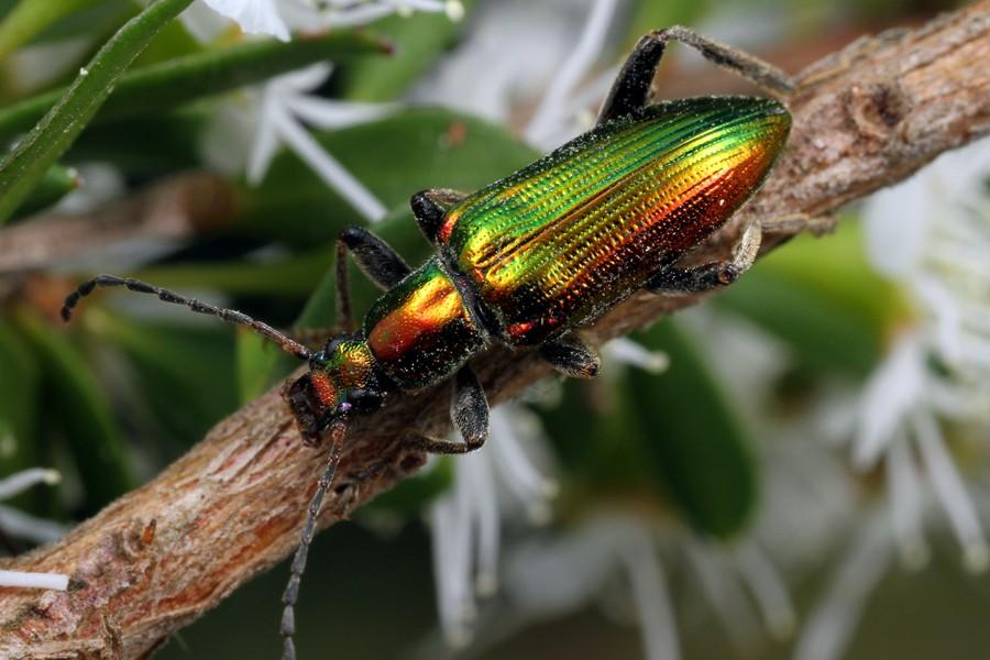 Aethyssius sp. - Alleculinae - Cthdrl271213 (7)