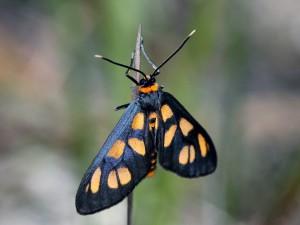 Amata nigriceps - Grrwn231014 (11)