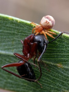 Bomis larvata - MtDndng111014 (2)