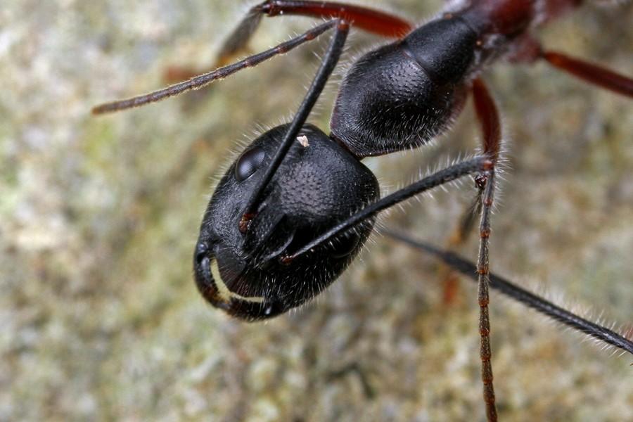Camponotus intrepidus - MtDndng180514 (3)