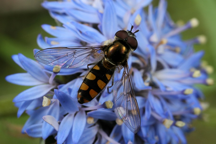 Common Hoverfly - Melangyna viridiceps - MtDndng011213 (3)