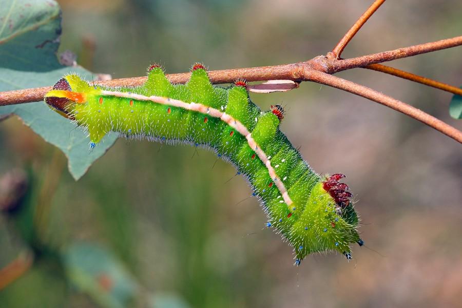 Helena Gum Moth - Opodiphthera helena - larva Cthdrl210112 (8)