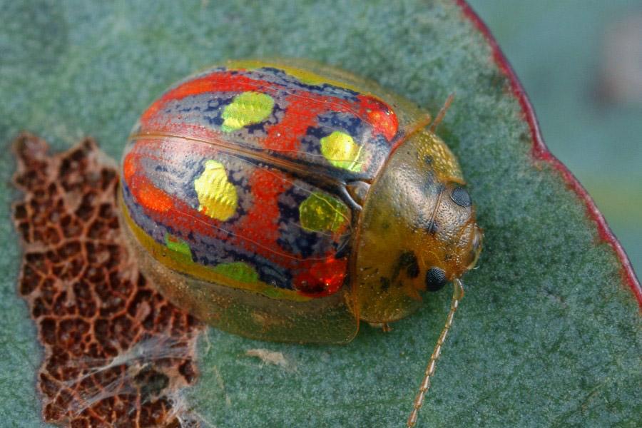 Paropsisterna annularis - MtLfty010314