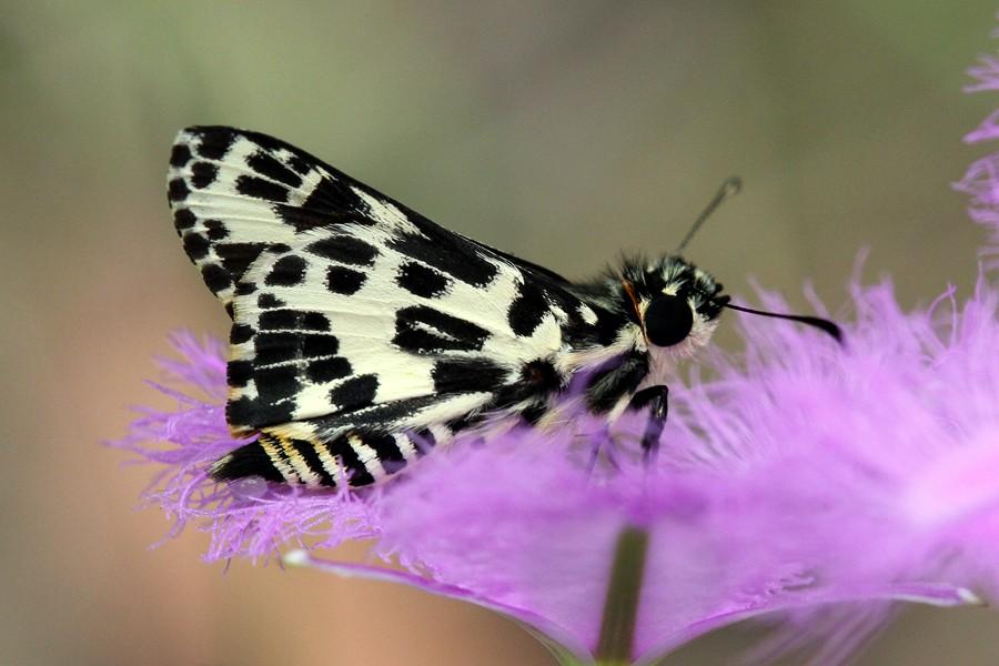 Spotted Sedge-skipper - Hesperilla ornata - MtDndng221114 (6)