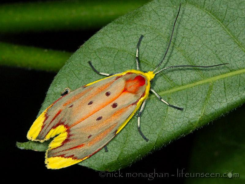 Eustixis sapotearum - Lacturidae - Kndlla151111 (13)
