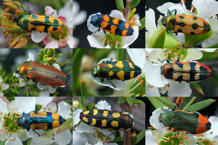 Nine of the Castiarina species.