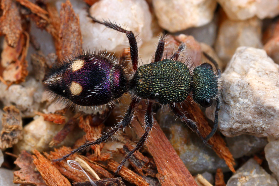 A stunning female wasp from the family Mutillidae, commonly called Velvet Ants.