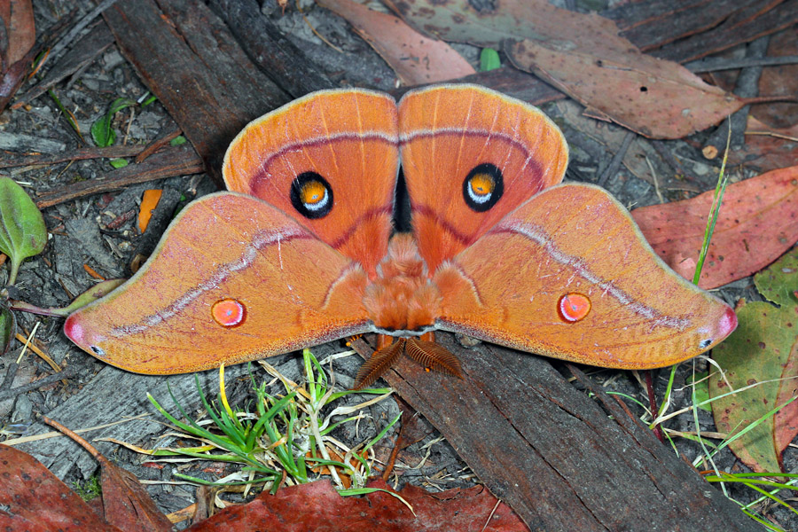 A Helena Gum Moth, Opodiphthera helena, showing off its impressive owl-like eye spots.