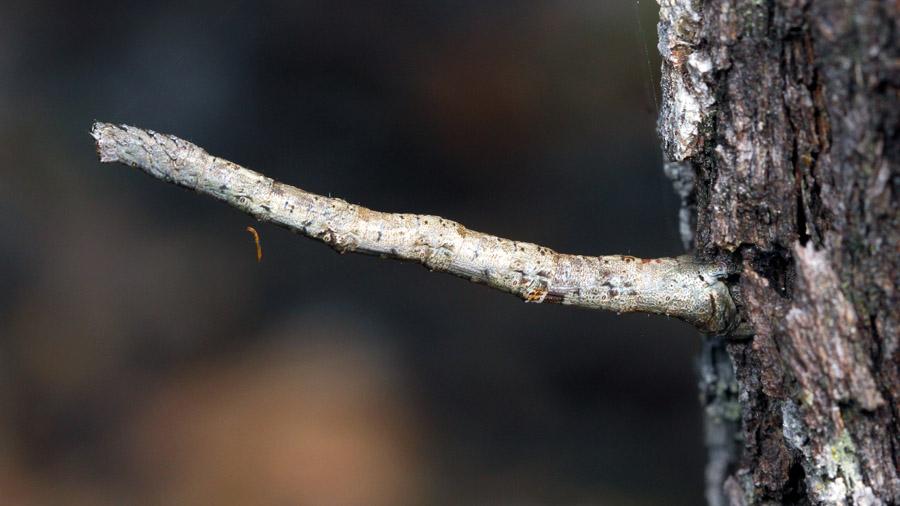 Unknown Geometrid larva - SrprsCrk191013 (1)