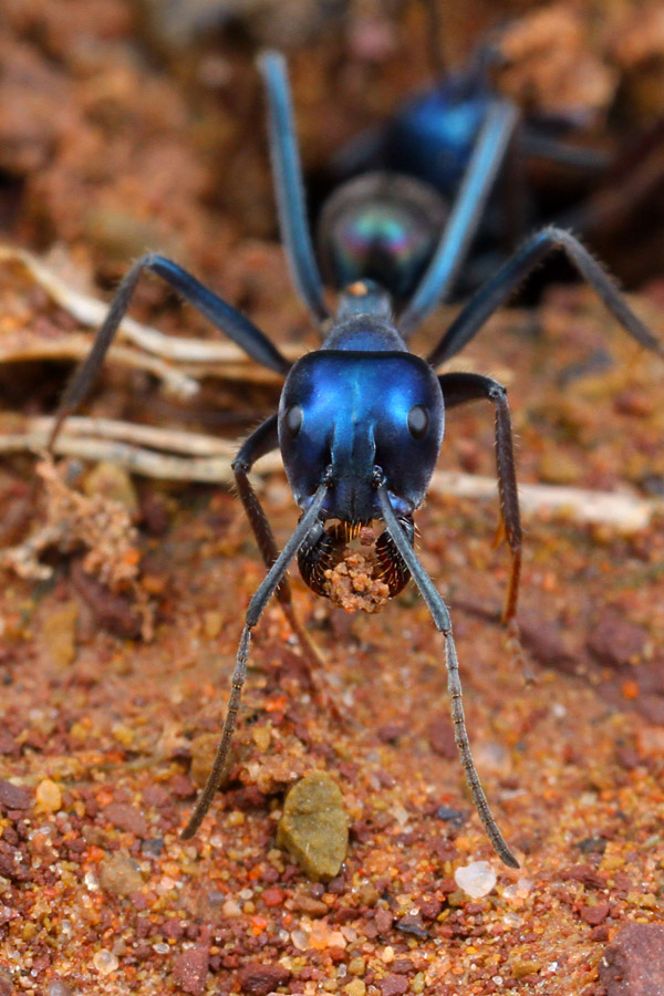 The lustrous satin blue of this Iridomyrmex lividus certainly makes it stand out in the ant world.