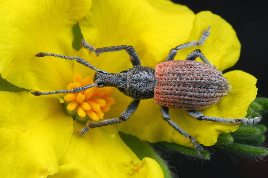 A weevil, possibly a <em>Leptopius sp.</em>, taking a break on a Hibbertia flower.