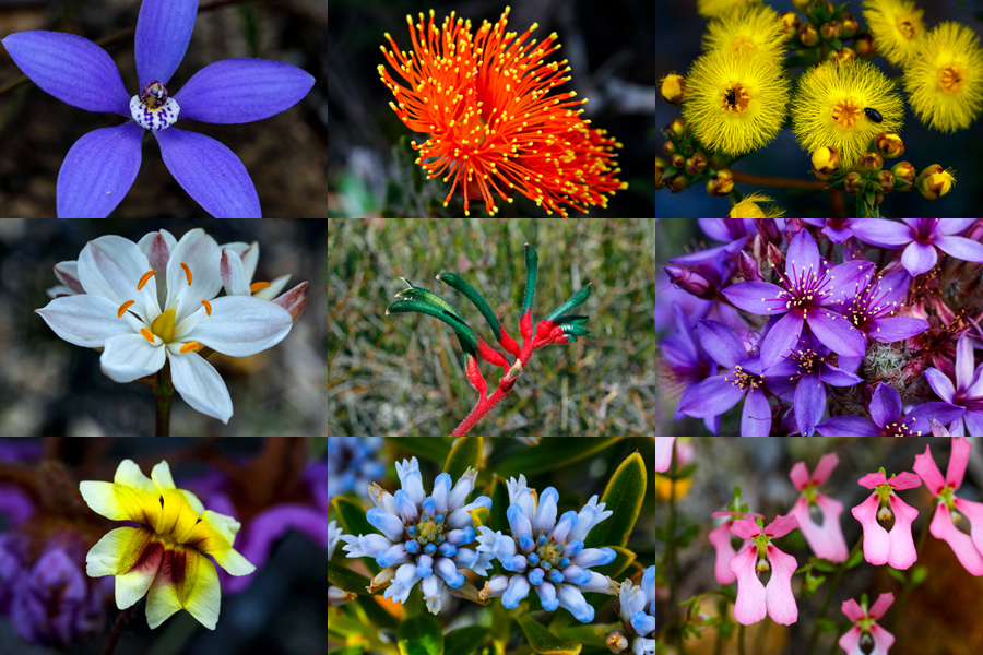 Top left to right: Cyanicula gemmata - Blue China Orchid, Eremaea asterocarpa - Star-fruited Eremaea, Verticordia sp. Middle left to right: Burchardia umbellata - Milkmaids, Anigozanthos menziesii - Menzies Kangaroo Paw, Calytrix sp. Bottom left to right: Velleia trinervis - Common Villeia, Conospermum nervosum - Nerved Smokebush, Stylidium calcaratum - Book Triggerplant.